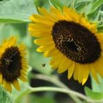 Sunflowers at Hort Park